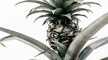 Ето как можем да си отгледаме ананас в саксия у дома