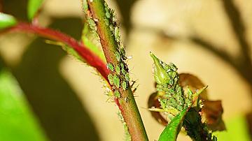 Ето как да се отървем лесно и без вредни химикали от листните въшки по розите