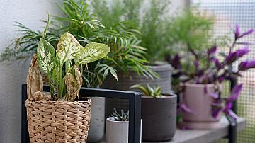 Дифенбахия (Dumb canes) ефективно пречиства въздуха