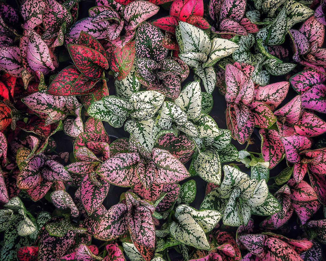Червени и зелен цветя дифенбахия (Dumb canes)