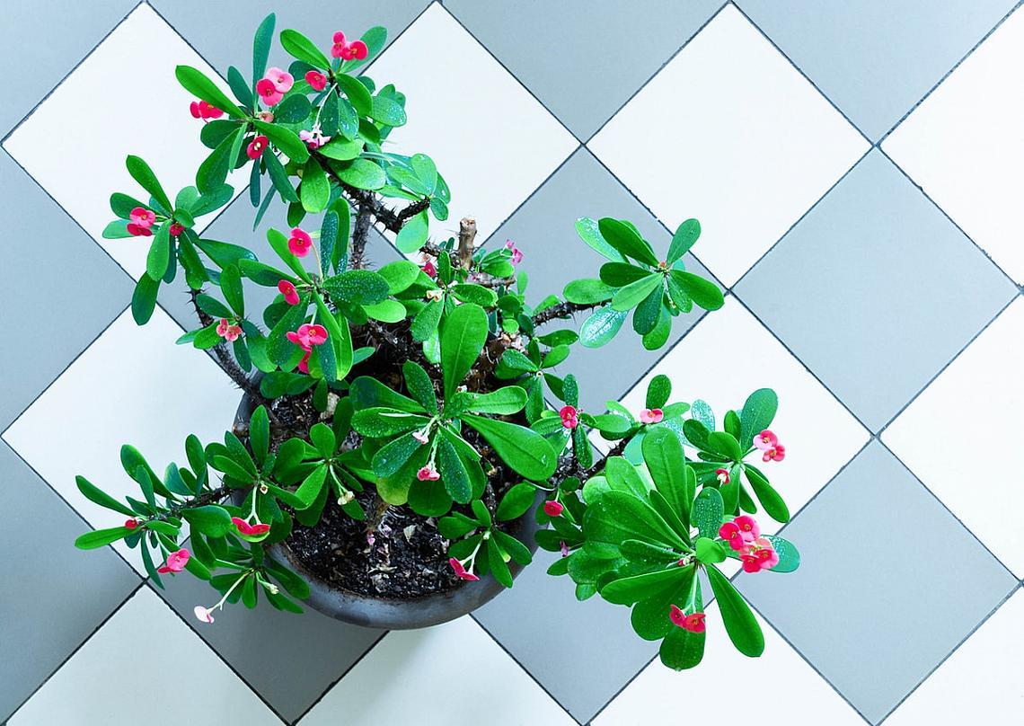 Исусов венец / Трънен венец / Euphorbia Milii