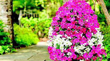 Цветен храст от петунии