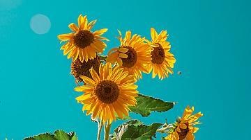 Направете си естествена беседка от слънчоглед