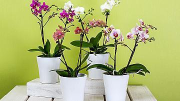 4 съвета за правилно отглеждане на орхидеите у дома