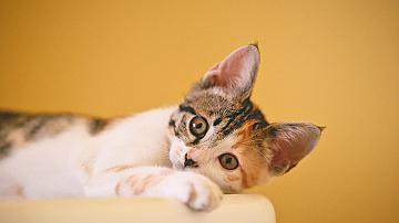 Котешки стълбички