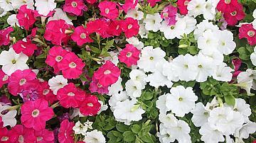 Бабини рецепти и трикове за отглеждане на цветя и други полезни растения