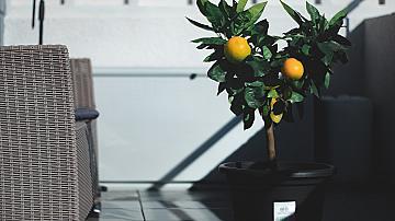 Как да отгледаме лимоново дърво в саксия у дома